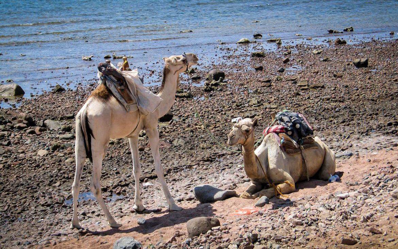 Kameler, Dahab, Egypten