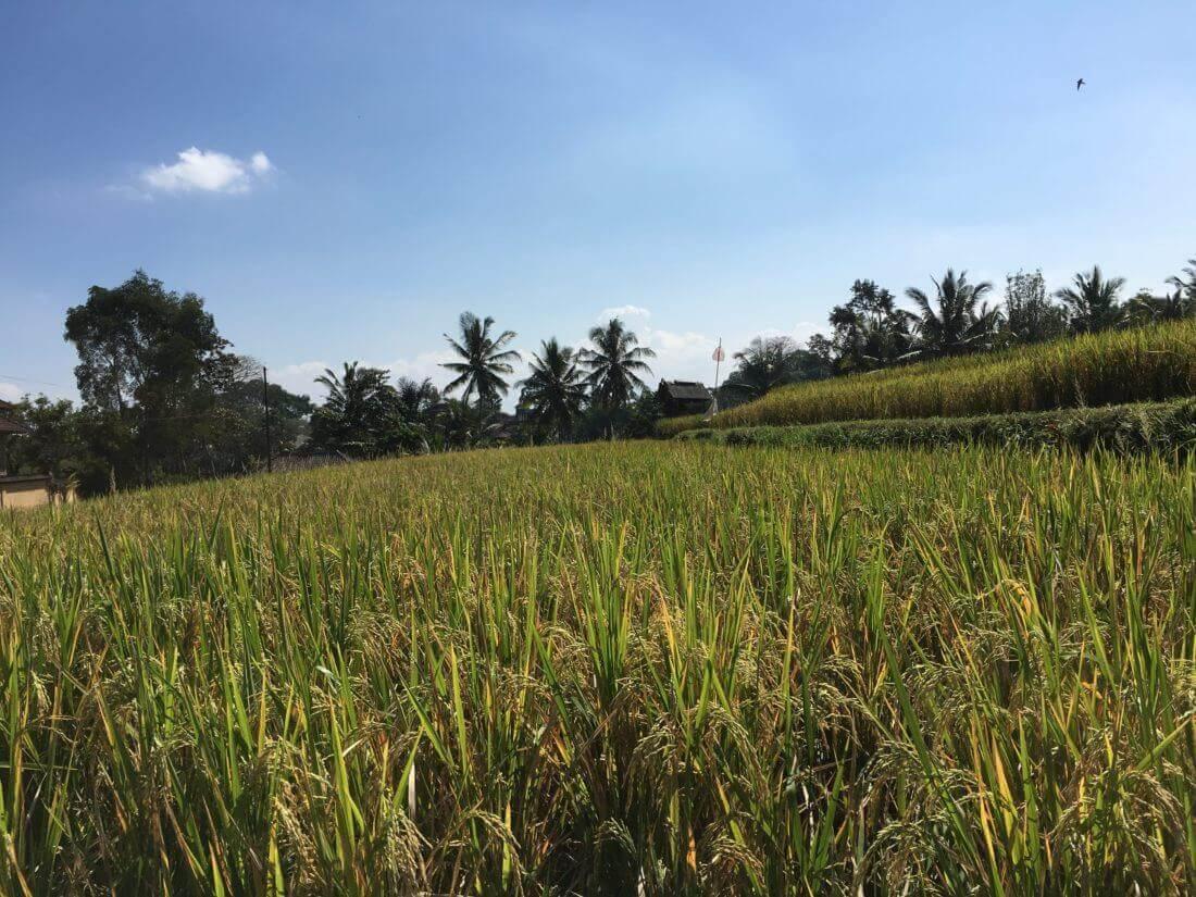 Rismarker, Campuhan Ridge Walk, Ubud, Bali