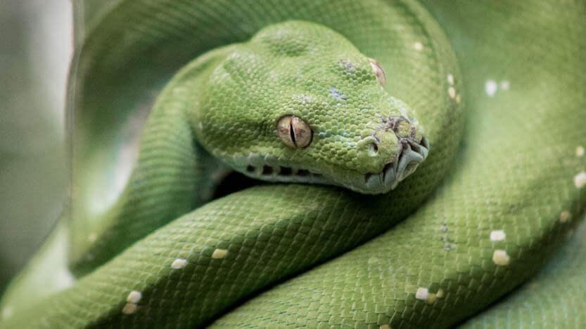 Pyton slange fra Randers Regnskov
