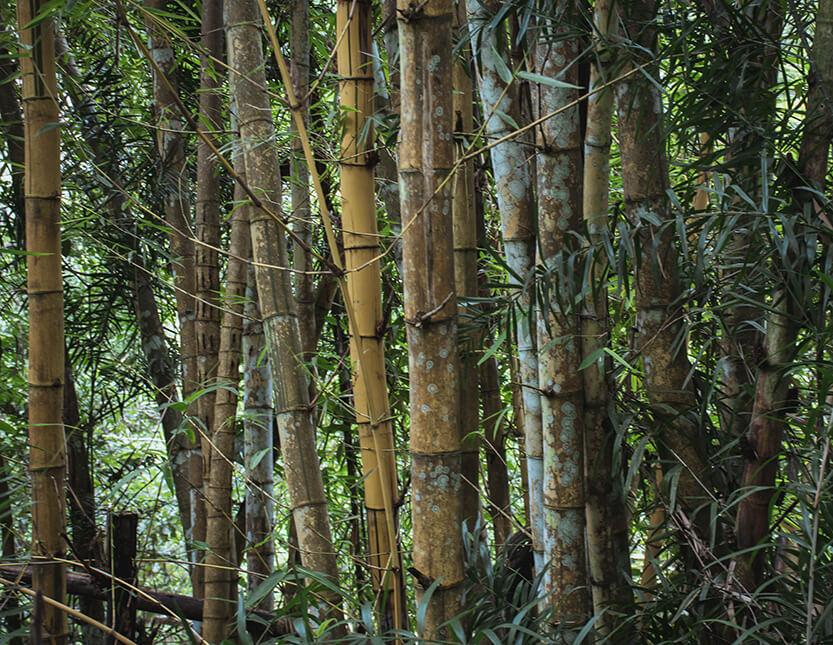 Det eneste der har fart på i Mae Sa Valley, må være bambussen her - der er verdens hurtigst voksende plante