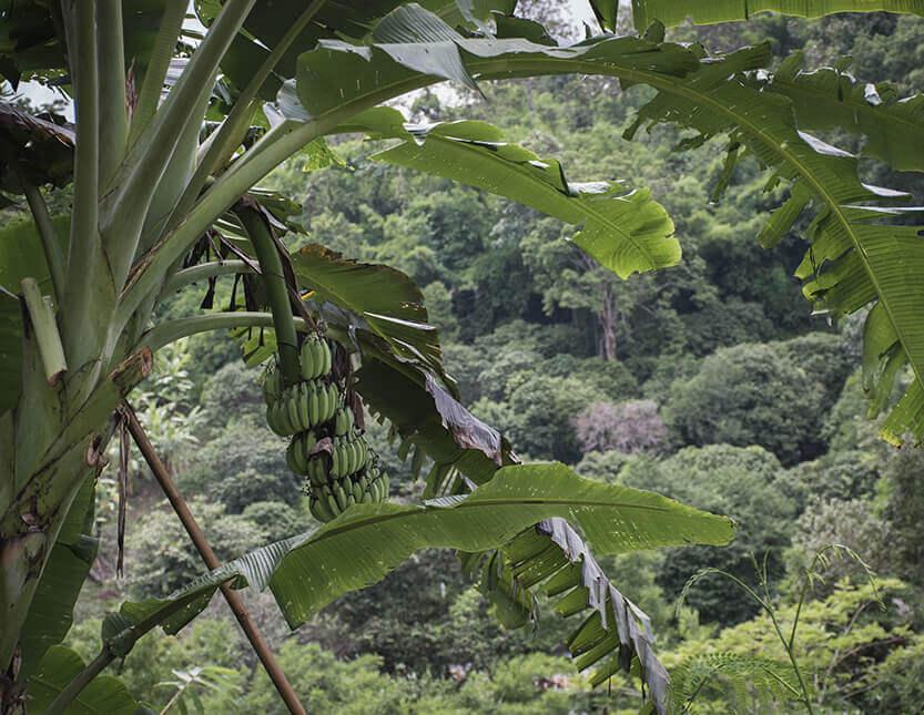 Der er masser af bananer i Mae Sa Valley - du bliver aldrig helt sulten
