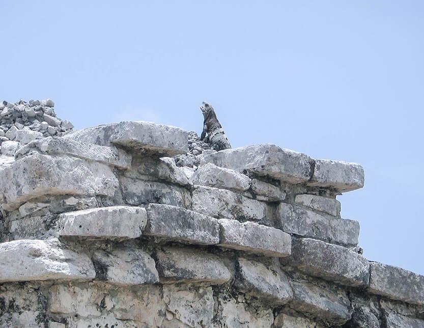 Øgle trækker frisk luft på ruinerne. Tulum.