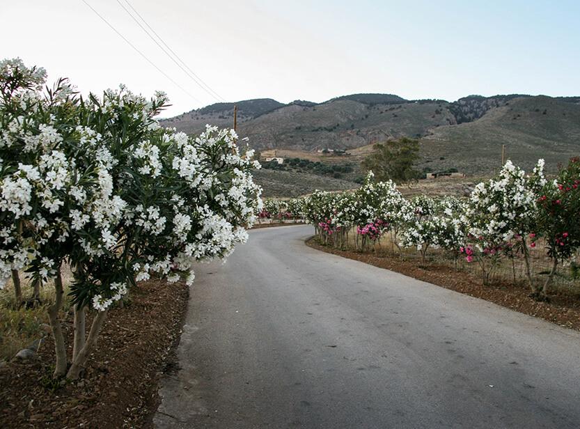 Langs vejene vokser de smukkeste blomsterbuske. Sydkreta. Grækenland.