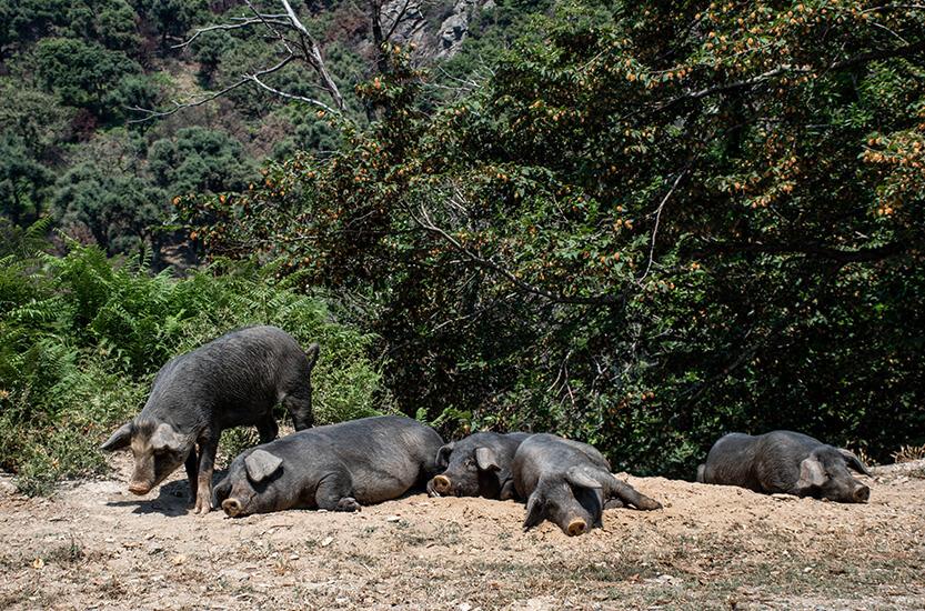 Det var ikke til at stå for disse fine svin på vejen... korsikanske vildsvin