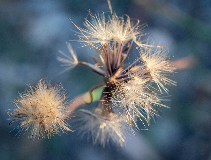 Korsikansk blomst i solens sidste stråler
