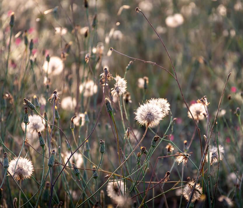 Vilde blomster i solens sidste stråler