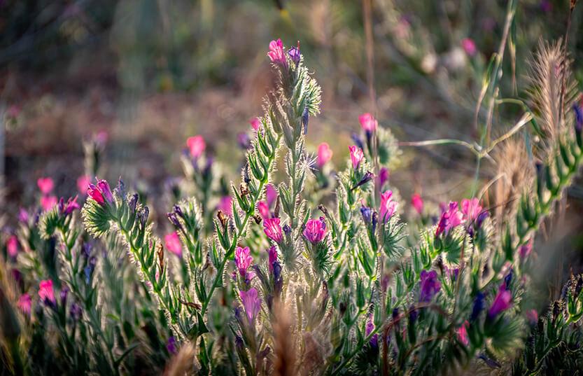 Vilde blomster, Korsika