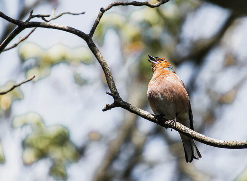 Fuglen synger så fint og bebuder om forår, sommer og lyse nætter