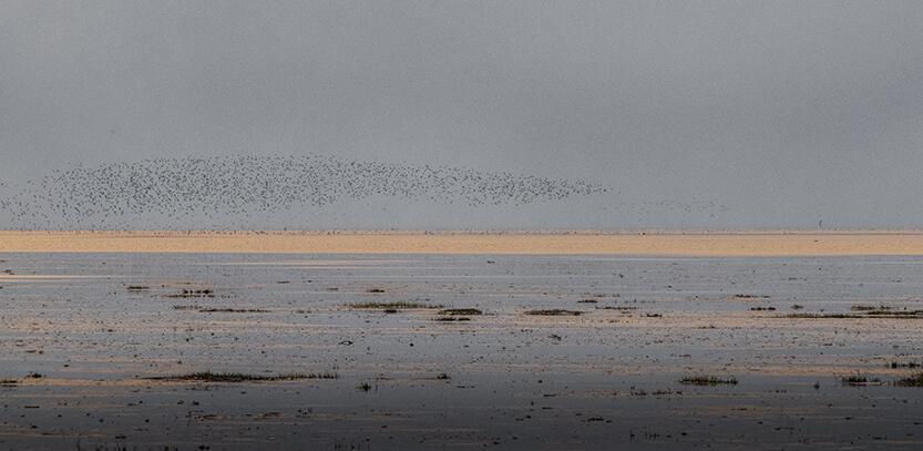 Fugletræk over Fanø