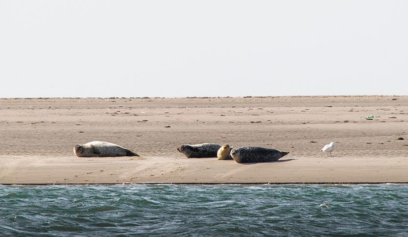 Sælerne lå og fedede den på Galgerev, Fanø.