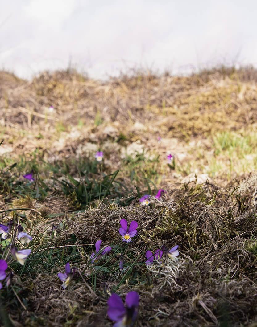 Der var violer overalt på Fanø, mens vi var der