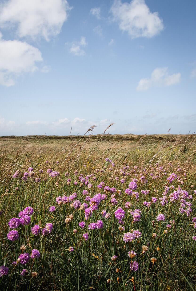Klitlandskabet er fyldt med engelsk græs i juni måned