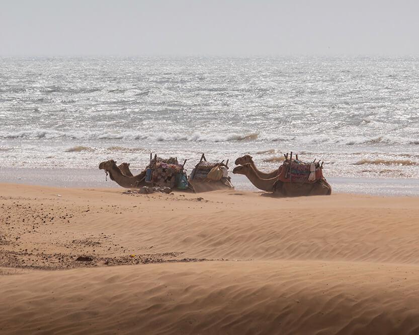 Kamelerne på stranden var nærmest ikke til at fotografere pga. den heftige blæst