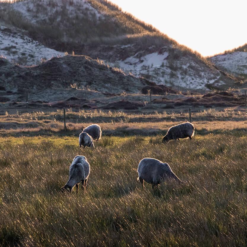 Jeg kom forbi de græssende får med solens sidste stråler blinkende i deres pels