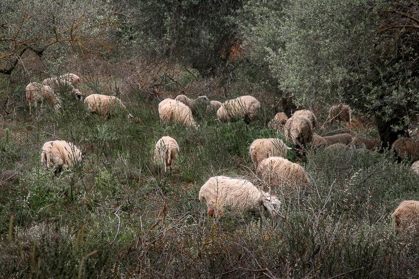 Får der græsser, Kreta, Grækenland