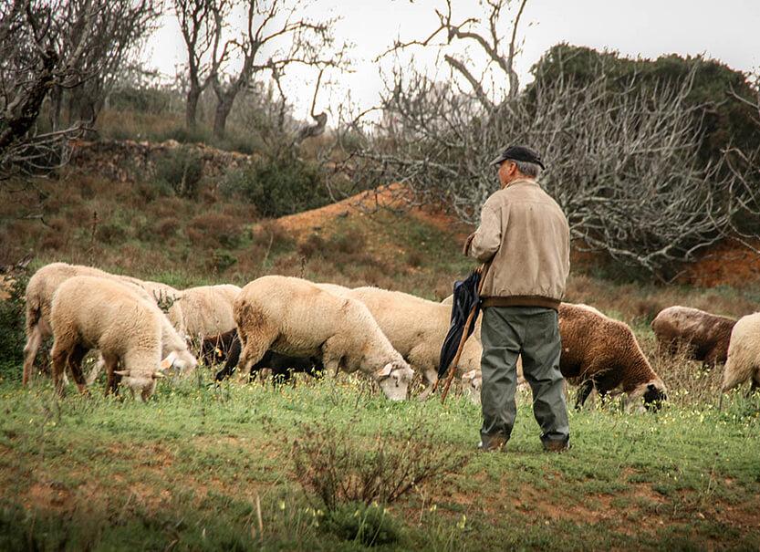 Fårehyrden passer godt på fårene - og vi venter pænt på at vi kan køre videre