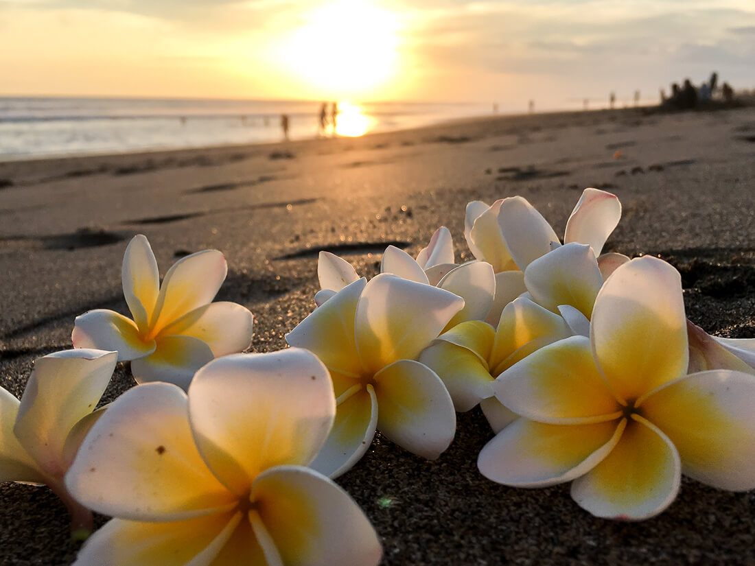 Frangipani blomster, smidt på strand, Bali(Iphone 6S)